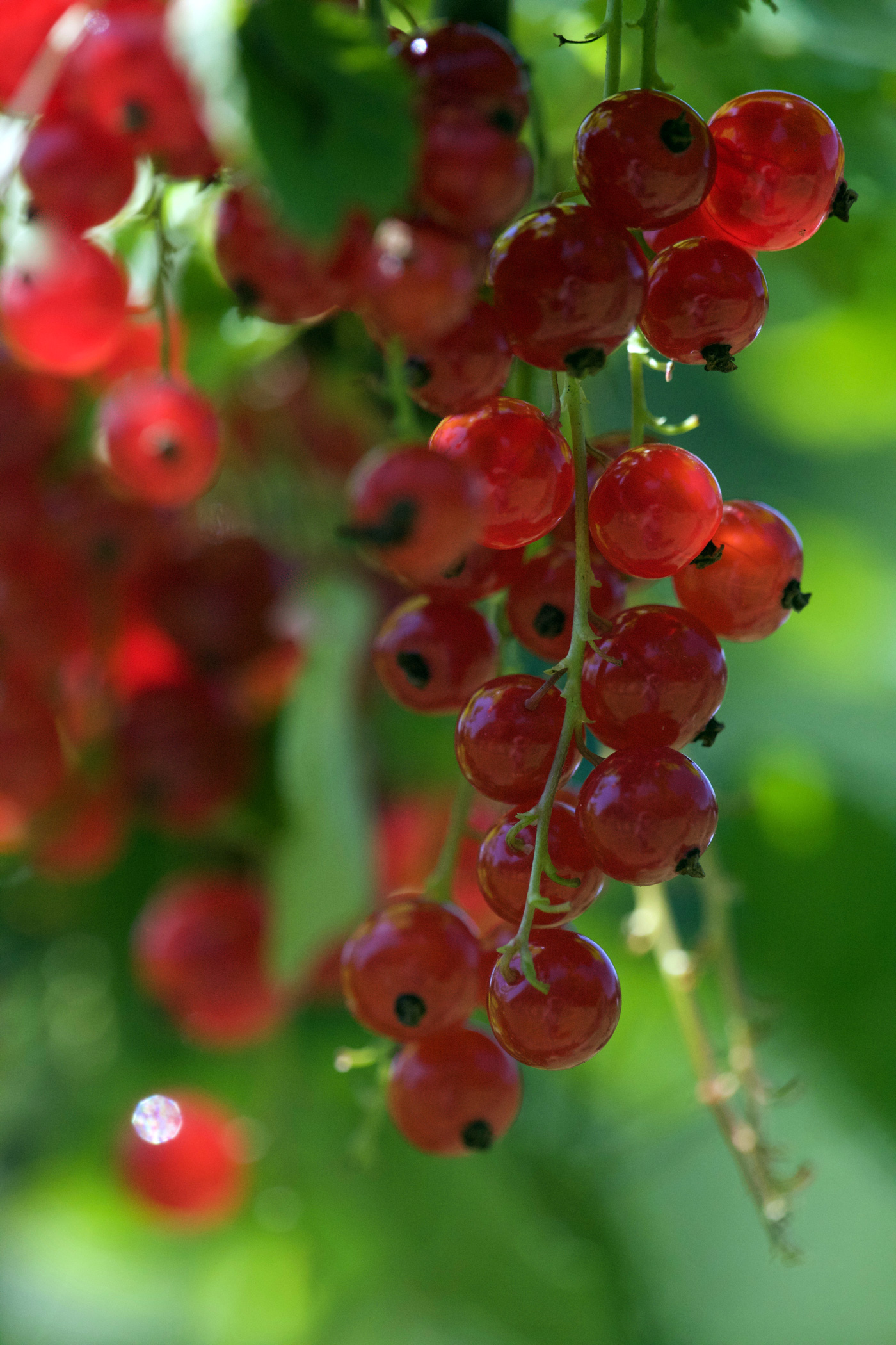 Haupternte bei den späten Erdbeeren, Heidelbeeren und Johannisbeeren