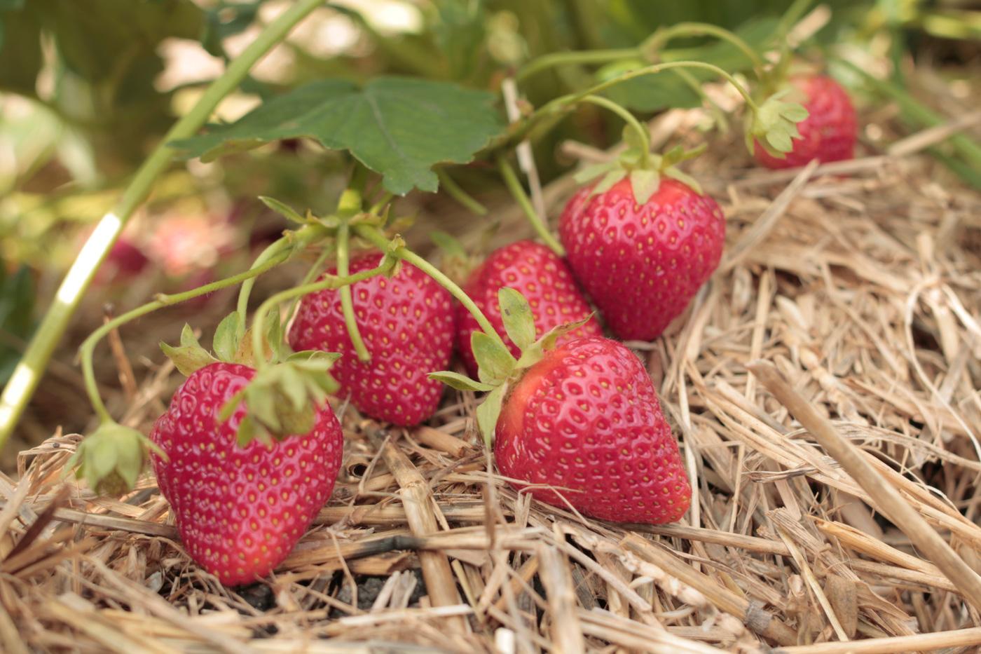 Haupternte bei den Erdbeeren