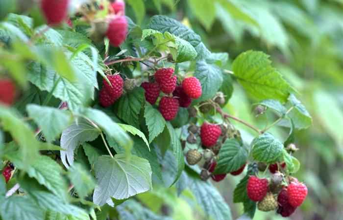 Noch Haupternte bei Heidelbeeren und roten Johannisbeeren – Beginn der Haupternte bei den Herbsthimbeeren