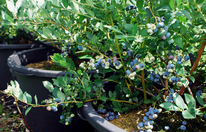 Super Pflückbedingungen bei Heidelbeeren und roten Johannisbeeren – die Erdbeersaison ist nun vorbei