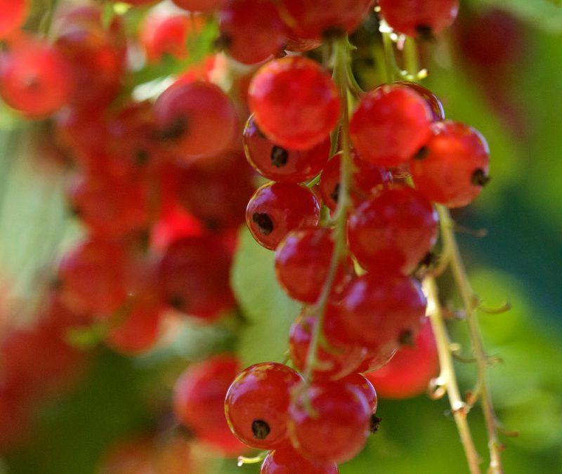 Haupternte von Johannisbeeren, Heidelbeeren und späten Erdbeeren