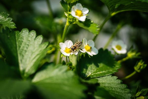 Bald startet die Erdbeersaison 2021 in der Rothschwaige